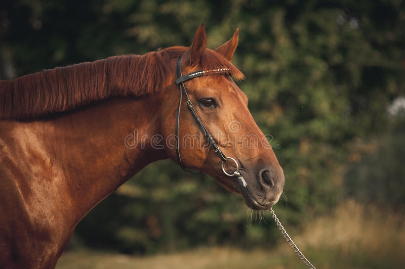 Horse portrait in summer. Mixed breed horse portrait at sunset in summer royalty free stock image