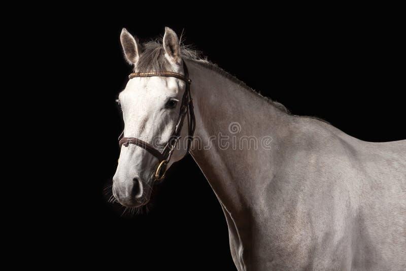 Horse. Portrait of Trakehner gray color on dark background stock photo