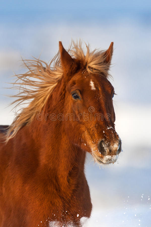 Horse portrait in winter day. Beautiful red horse with long mane portrait run in snow field royalty free stock photos