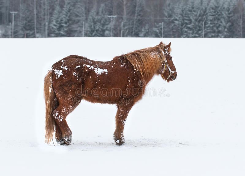 Horse portrait. In winter landscape royalty free stock images