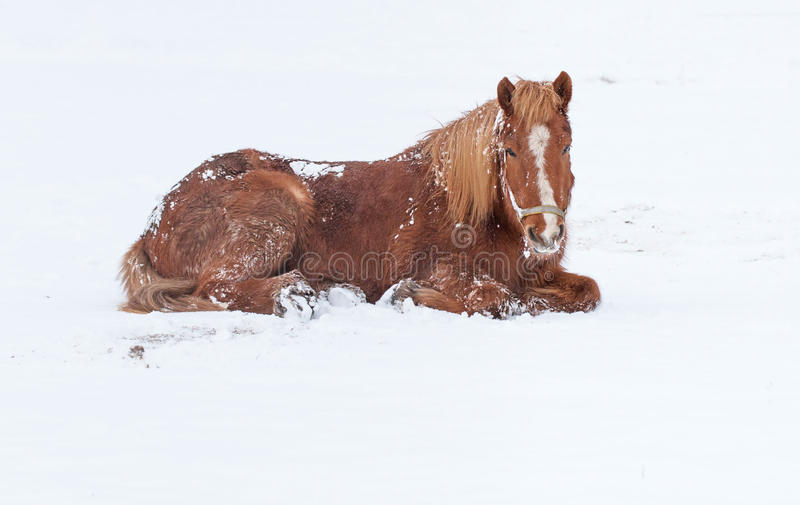 Horse portrait. In winter landscape royalty free stock photography