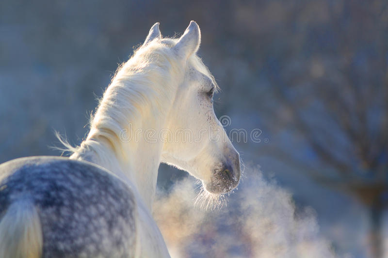Horse portrait in winter. White horse portrait with steam from nostril at sunset light royalty free stock images