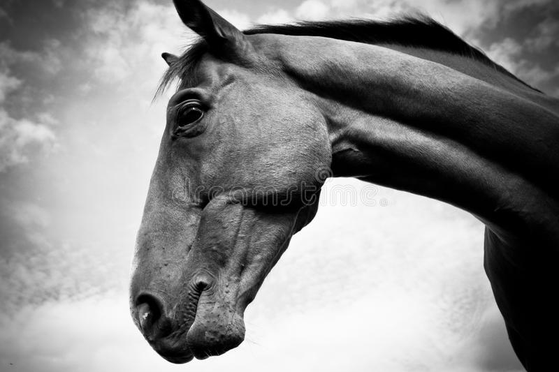 A horse in profile in black and white. A beautiful portrait of a horses head and neck in profile in black and white stock photos