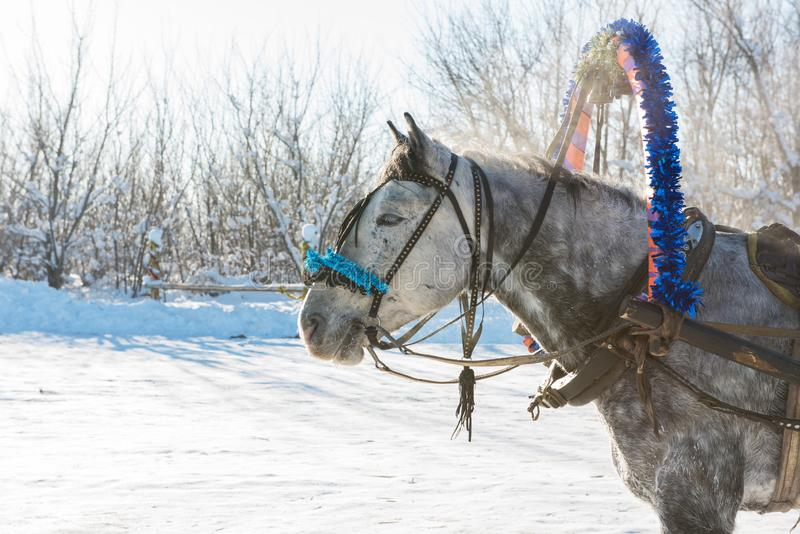 Horse pulling sleigh in winter stock image