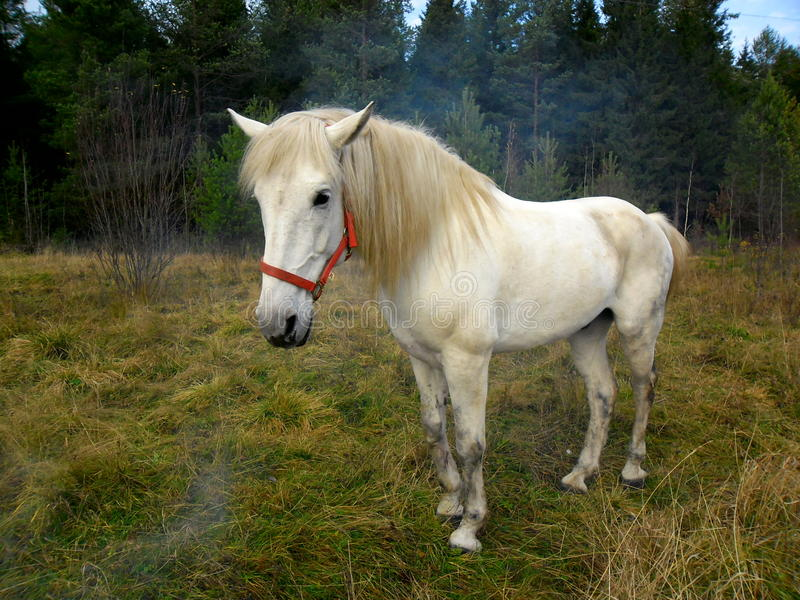 Horse. The horse reaches an average age of 25-30 years, among some breeds pony meet animals surviving to 40 years. The brain is relatively small, and hemispheres royalty free stock images