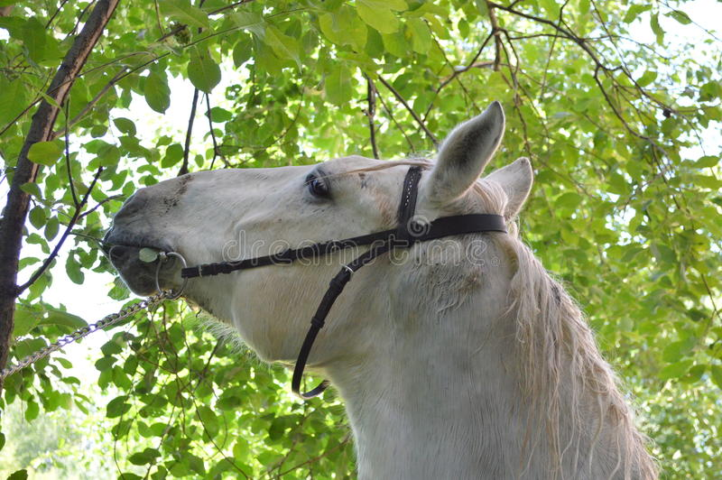 Horse. The horse reaches an average age of 25-30 years, among some breeds pony meet animals surviving to 40 years. The brain is relatively small, and hemispheres stock photo