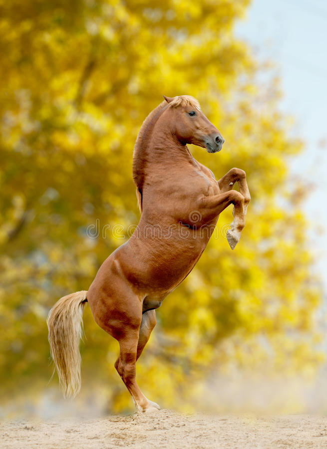 Horse rears, autumn stock images