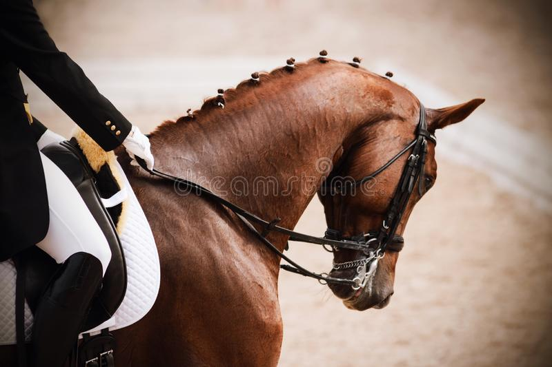 Horse with a rider in the saddle participates in dressage competitions. Elegant horse red suit, dressed in a mouthpiece headband with a rider in the saddle royalty free stock photo