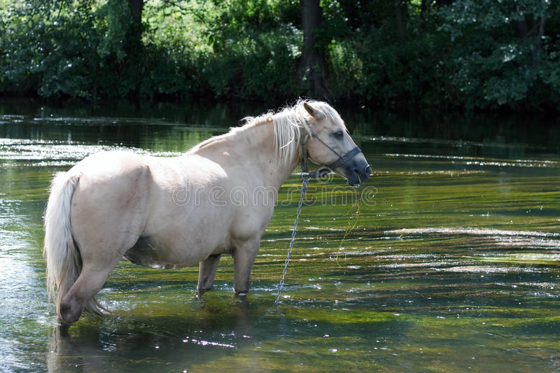 Download Horse in the river stock photo. Image of river, farm - 10665374