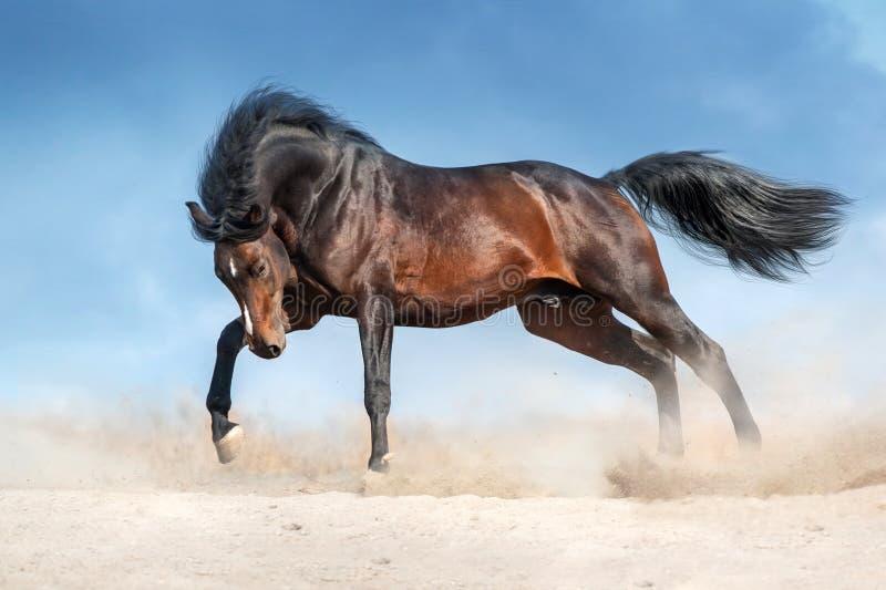Horse run in desert stock photography