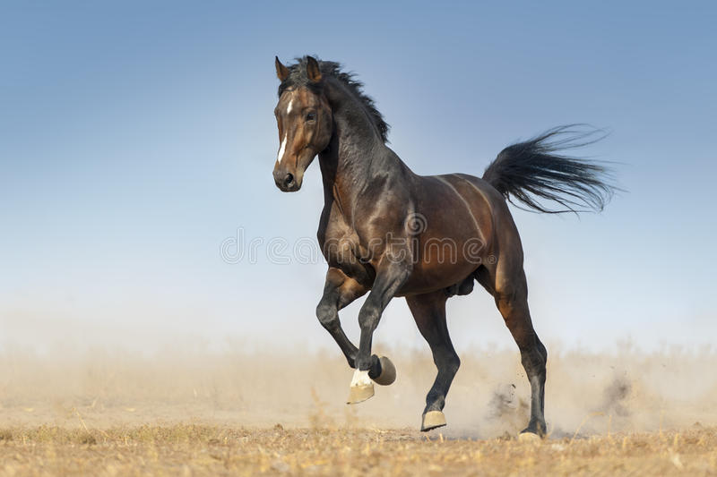 Horse run fast. Bay horse run gallop in dust against blue sky royalty free stock photos