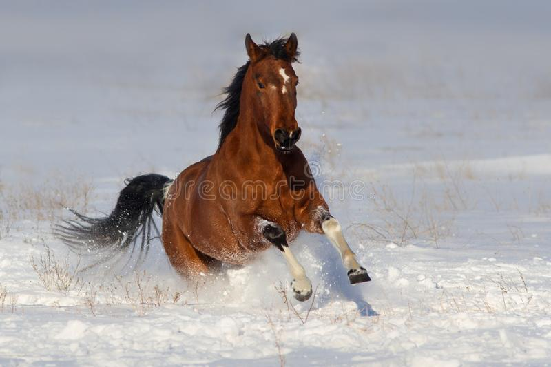 Horse run fast in snow. Field royalty free stock images