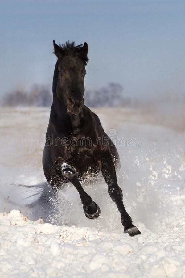 Horse run in snow stock images