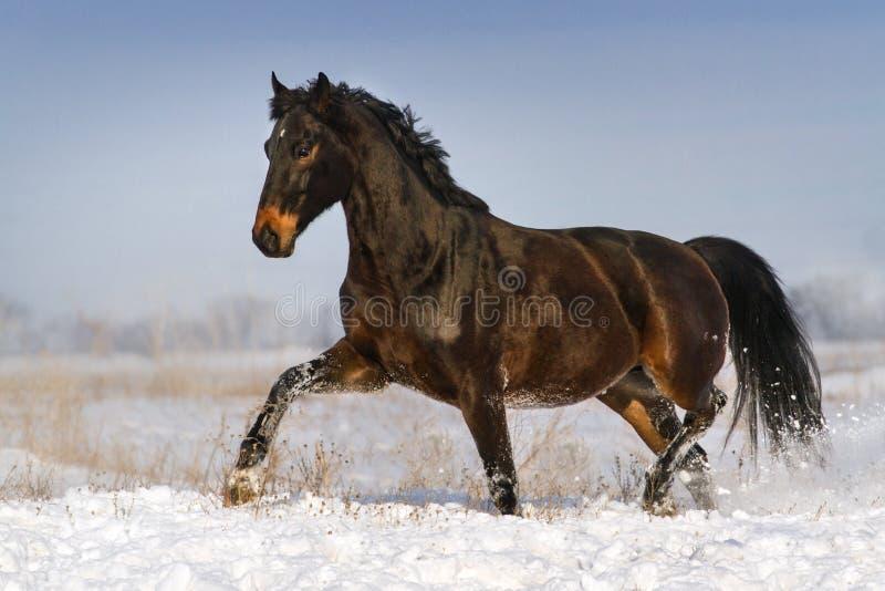 Horse run in snow stock photography