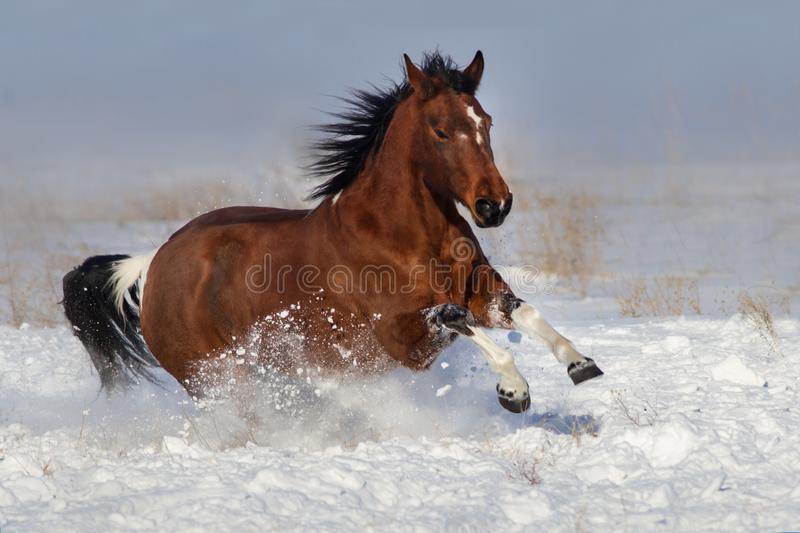 Horse run fun in snow. Field at winter sunny day royalty free stock image
