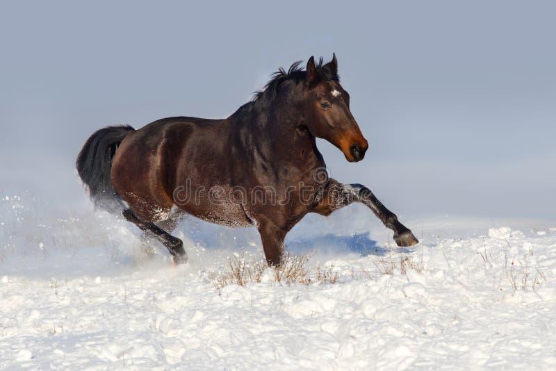 Horse run fun in snow. Field at winter sunny day stock photo