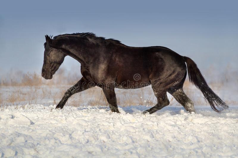 Horse run fun in winter landscape royalty free stock images