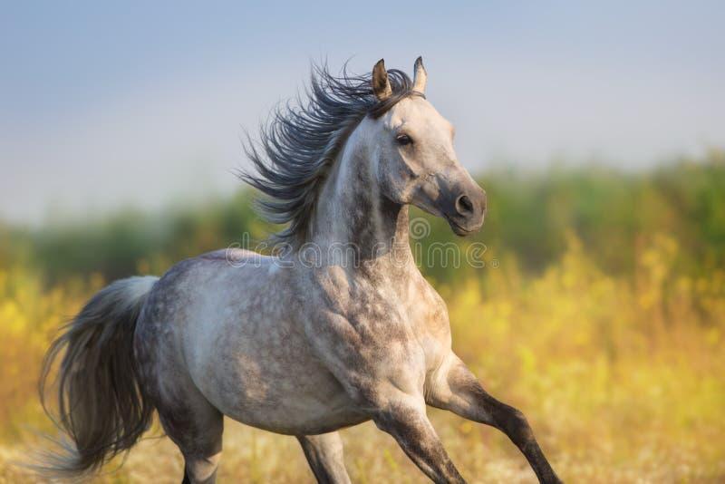 Grey horse free run. Horse run gellop in meadow free stock image