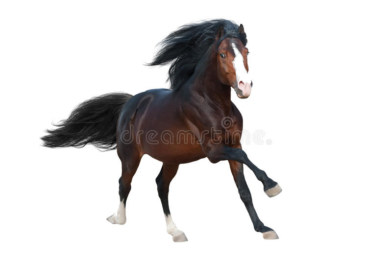 Horse run isolated. Beautiful bay stallion with long mane run gallop isolated on white background royalty free stock photo