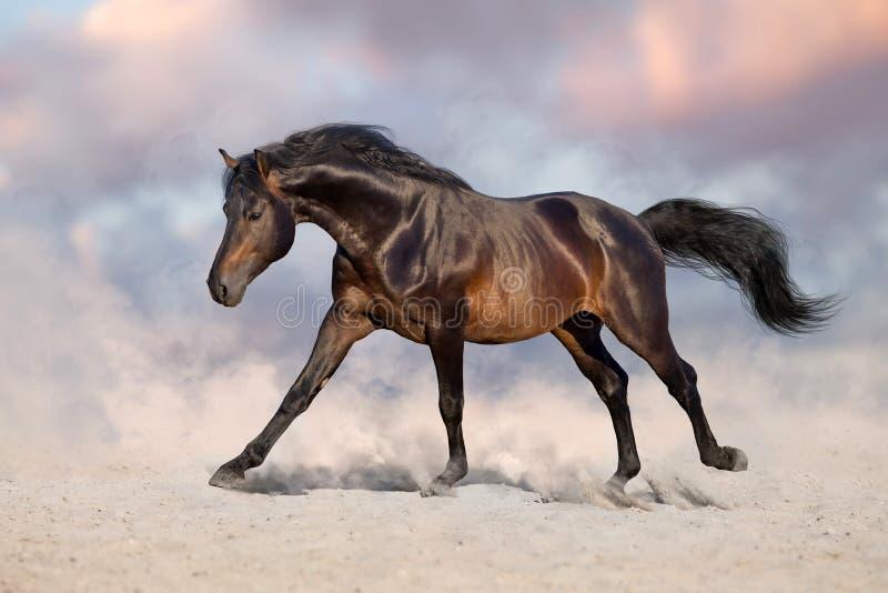Horse run in sand. Bay horse run gallop in desert sand royalty free stock photography