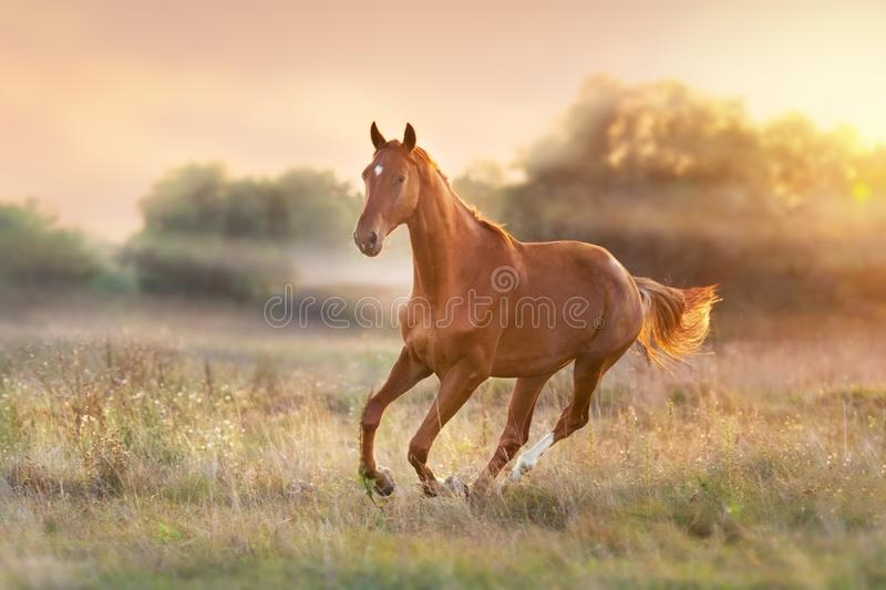 Horse run at sunset stock photos