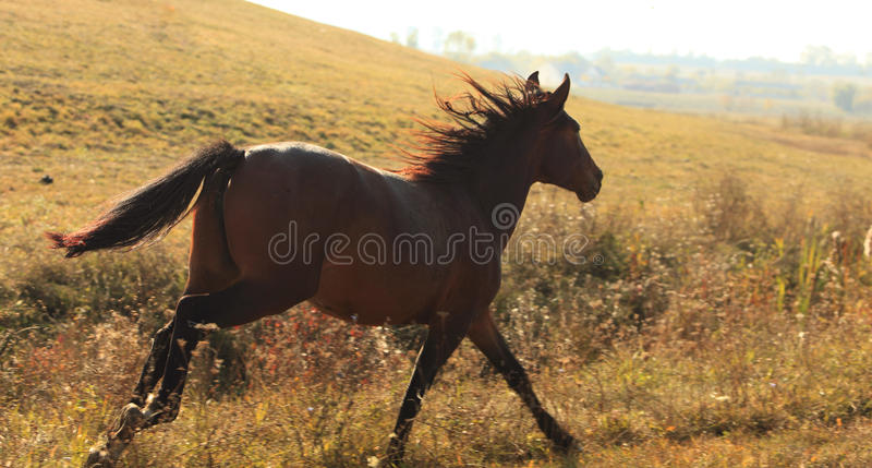 Horse running. Wild horse running in a field in the evening (contre jour shot royalty free stock photo