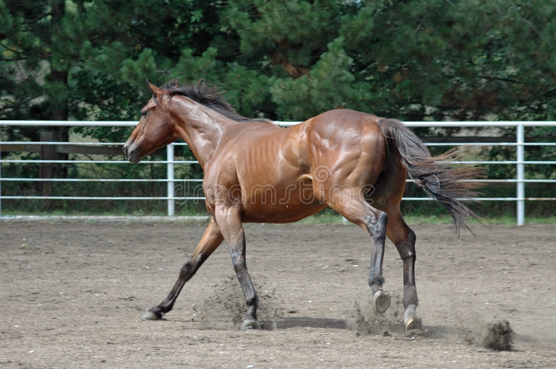 Horse running royalty free stock photos