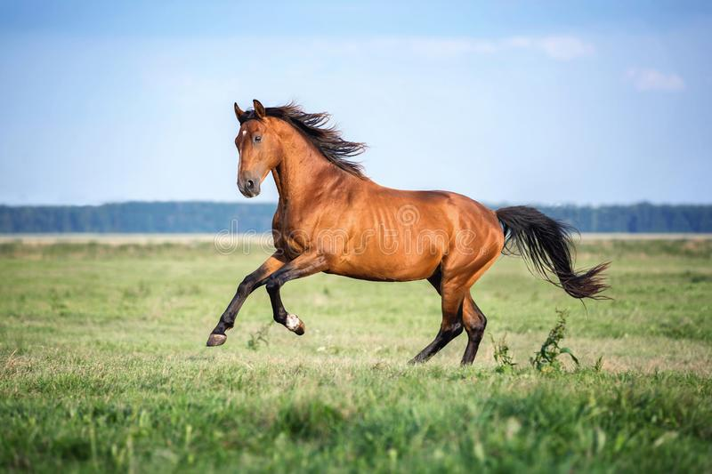 Horse running free on the pasture. stock photo