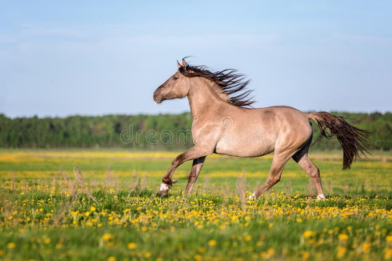 Horse running free on the pasture. stock images