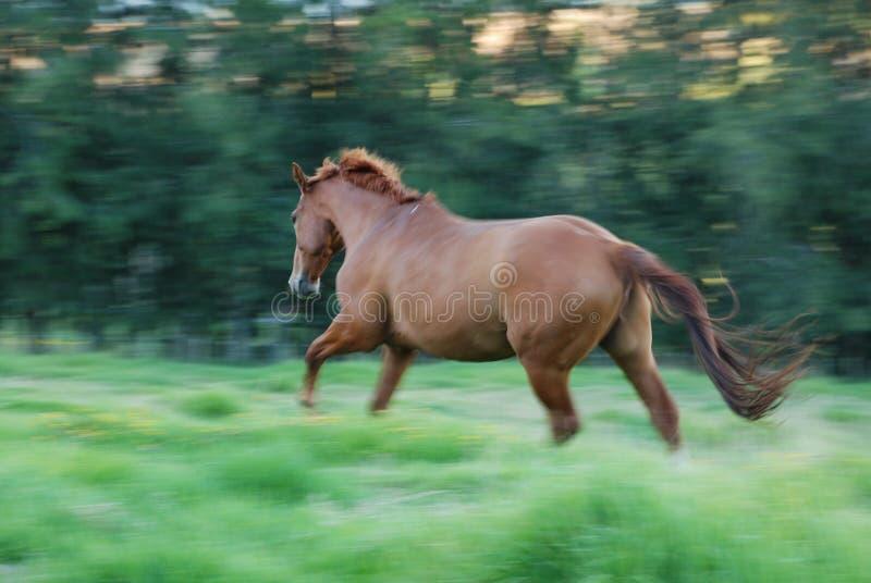 Horse running through long grass stock photos