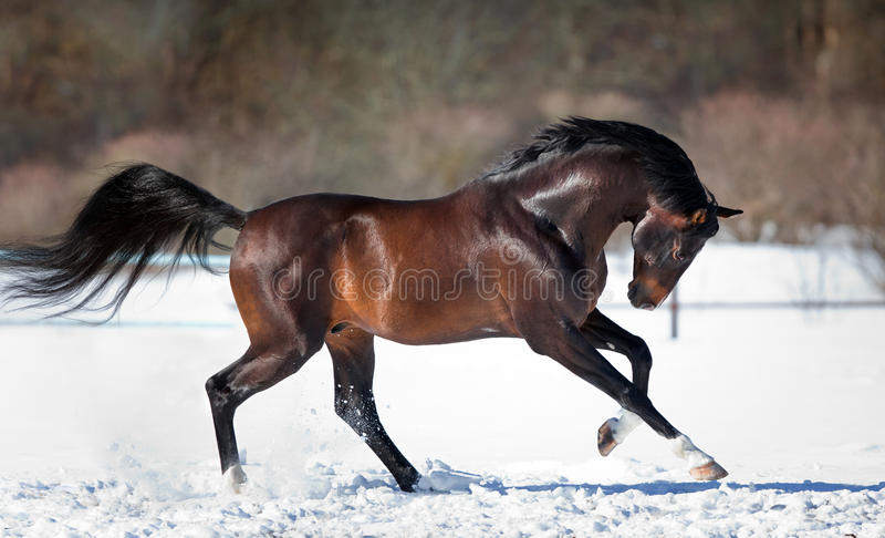 Horse running in the snow. Trakehner bay horse running in the snow in winter stock photos