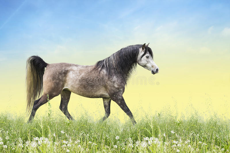 Horse running trot on summer field stock photo