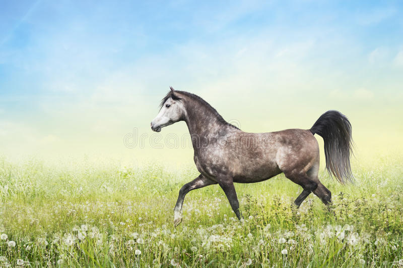 Horse running trot on summer pasture. Gray horse running trot on pasture summer on sunny sky background stock photos