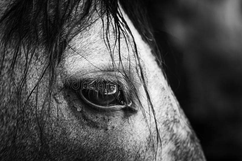 Horse`s eye. Black and white close-up image of horse`s eye stock photo