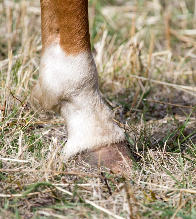 The horse`s hoof royalty free stock photography
