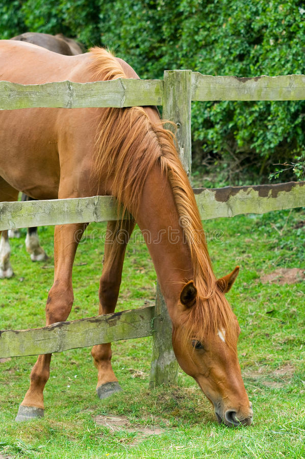 Download Horse's neck stock image. Image of grazing, english, leaning - 14618431