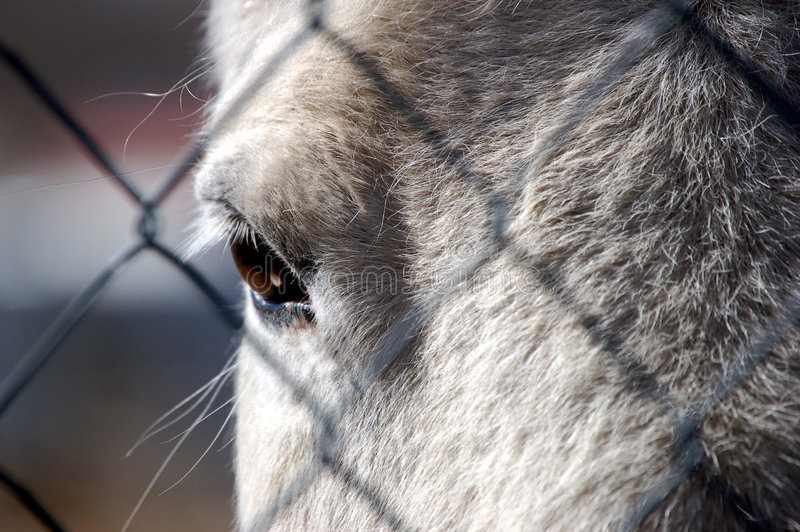 From a Horse's Perspective. Horse looking through a chainlinked fence at the viewer royalty free stock photography
