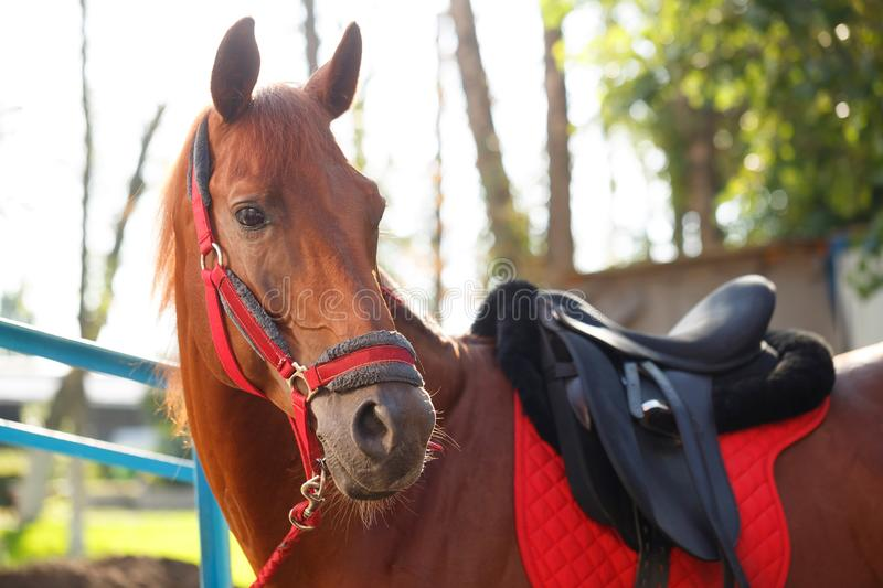 Saddle on a horse. A horse with a saddle portrait close-up. Readiness for training stock image