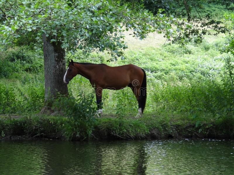 The horse seems to confide in the tree. A horse on a river rests under a tree on a green vegetation royalty free stock photography
