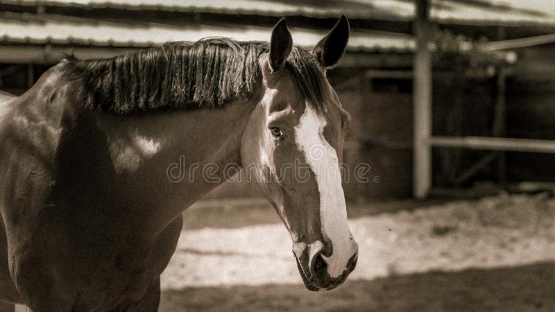 A horse in sepia tones. A brown horse in sepia tones looking at camera outdoors stock photos