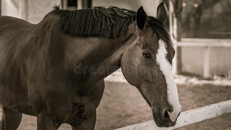 A horse in sepia tones. A brown horse in sepia tones looking at camera outdoors stock photo