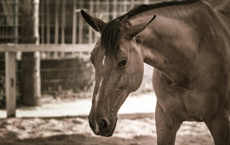 A horse in sepia tones. A brown horse in sepia tones looking down, sad, blue stock photography