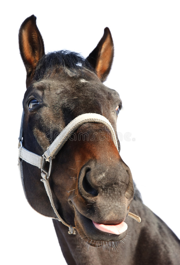 Horse showing tongue royalty free stock images