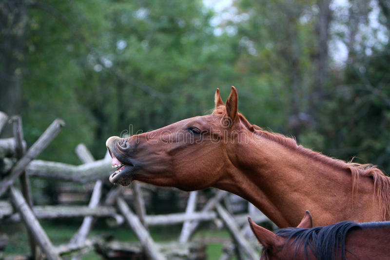 Horse shows his teeth. Portrait of a chestnut horse showing his teeth royalty free stock photo