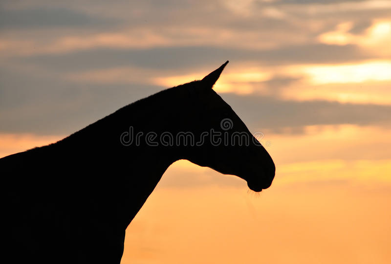 Horse silhouette portrait. On a sunrise royalty free stock photography