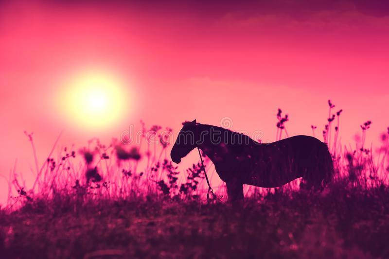 Horse silhouette at purple sunrise royalty free stock image