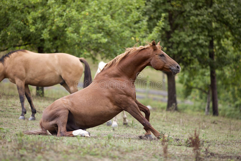 Horse sit on meadow stock photo