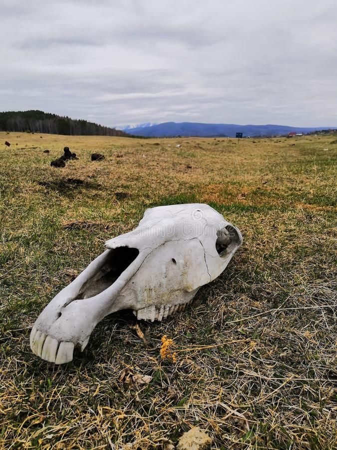 Horse skull in the field. The skull of a horse in a field on the ground in spring stock images