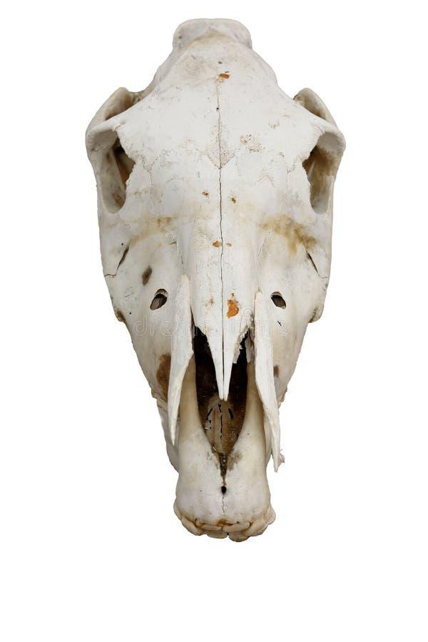Horse skull stock photo. Image of isolated, physiology - 74713462