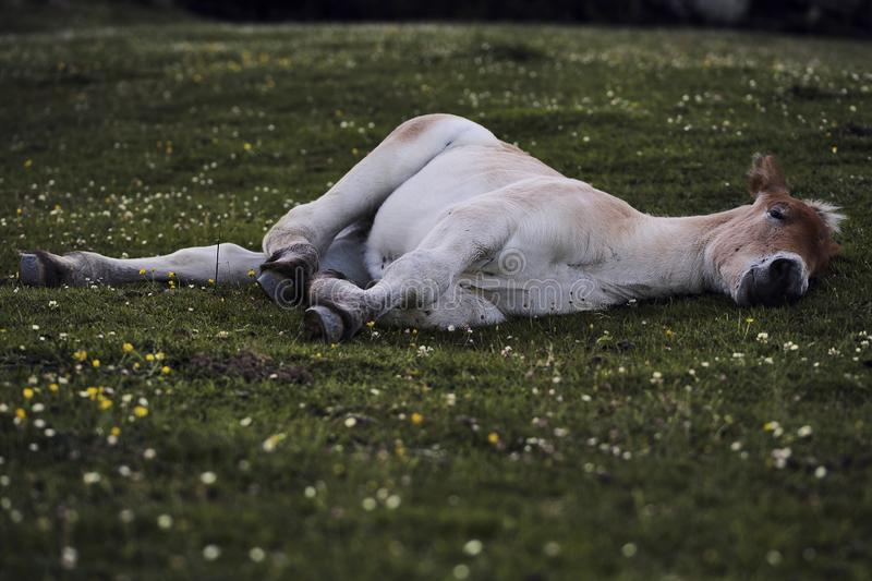 Horse sleeping on the grass. Beautiful afternoon stock photos